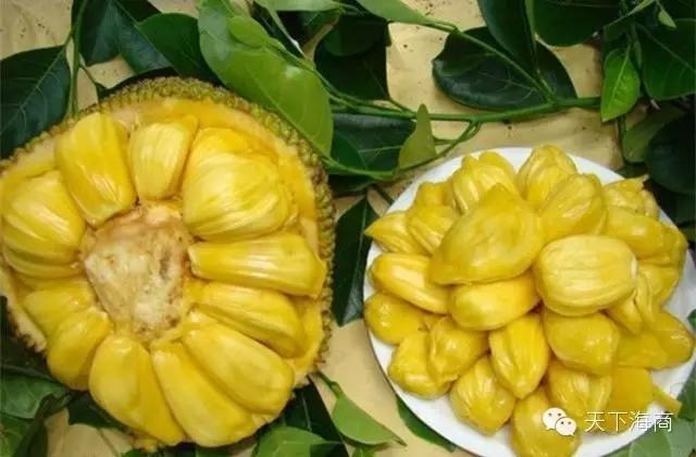 菠萝蜜树树冠大,枝杈多,叶子肥厚.